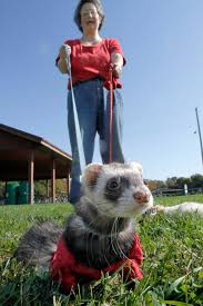ferret on leash
